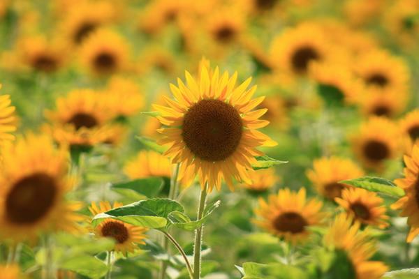 向日葵(ヒマワリ) | 花ごよみ | 京都の自然 | 京都に乾杯