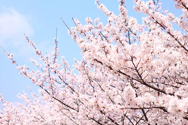 桜(サクラ) | 花ごよみ | 京都の...