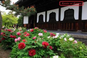 建仁寺 本堂を彩る牡丹・芍薬